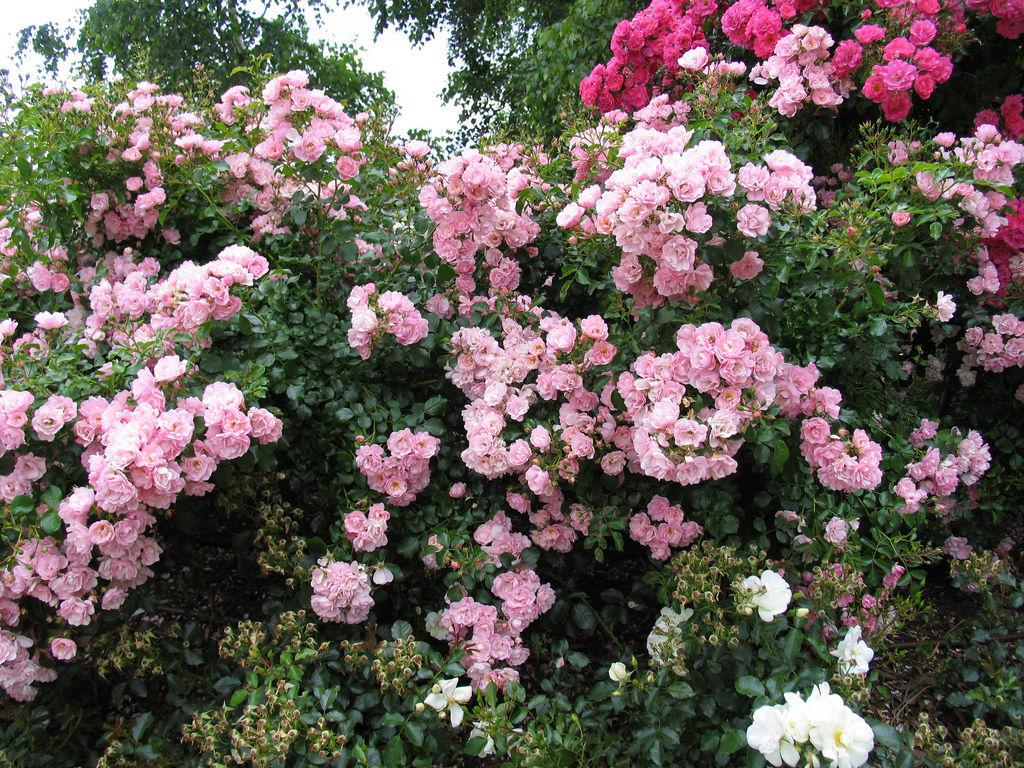 Розы зимостойкие неукрывные для подмосковья