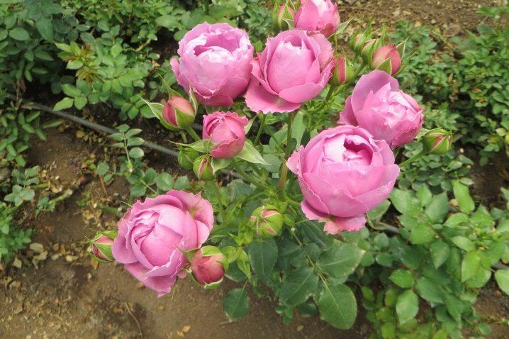 fioletovye-i-sirenevye-rozy-sorta-s-opisaniem-i-vyrashchivanie-16.jpg