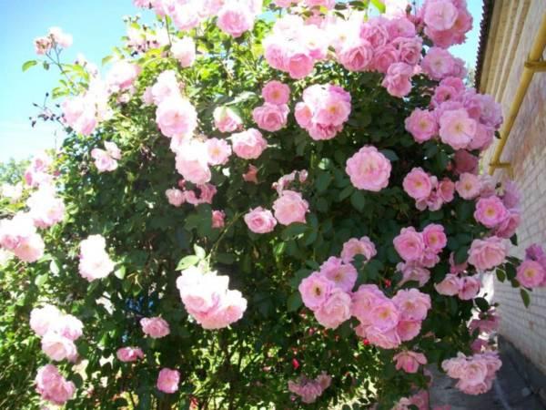 roza-pletistaja-rambler.jpg
