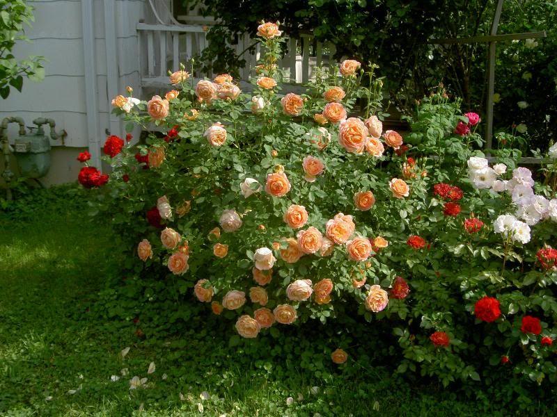 ris.-2-roza-sharlot-v-sochetanii-s-drugimi-sortami.jpg