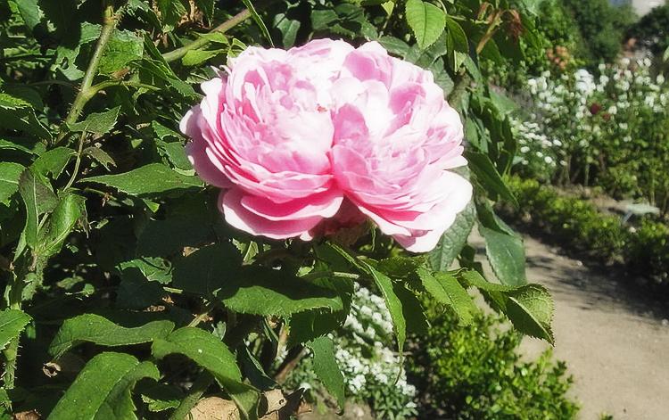 vyraschivanie-sadovyh-roz-v-otkrytom-grunte6.jpg