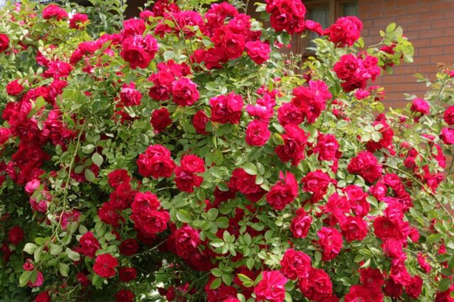 kystovie-cveti-rozi.jpg