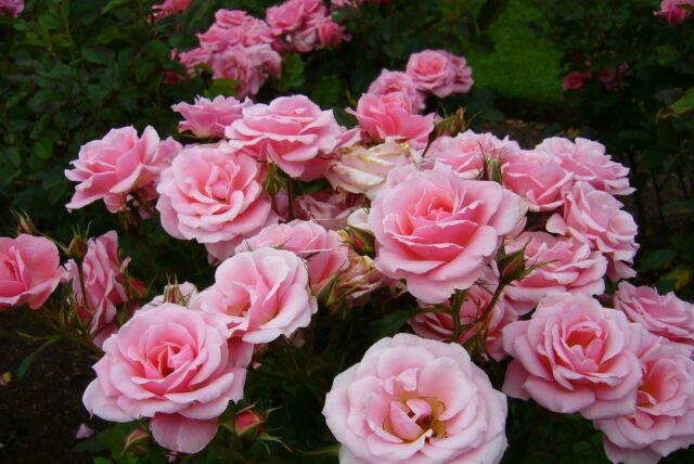 pink-roses-kystom.jpg