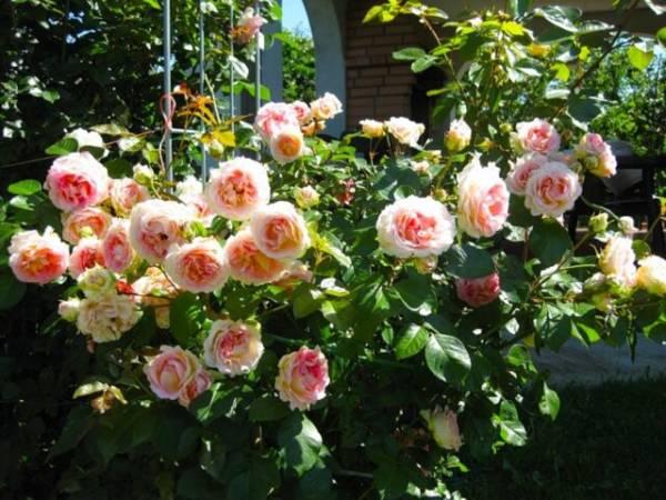 roza-kystovaia-nejnaya.jpg