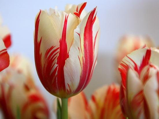 tulip_pestriy.jpg