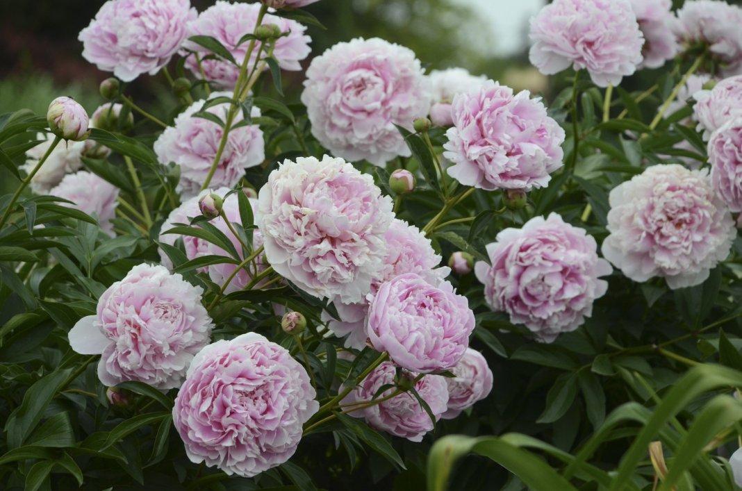 paeonia-lactiflora-sarah-bernhardt.jpg