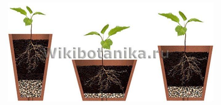osobennosti-vyrashchivaniya-komnatnyh-pionov-v-gorshke-11.jpg