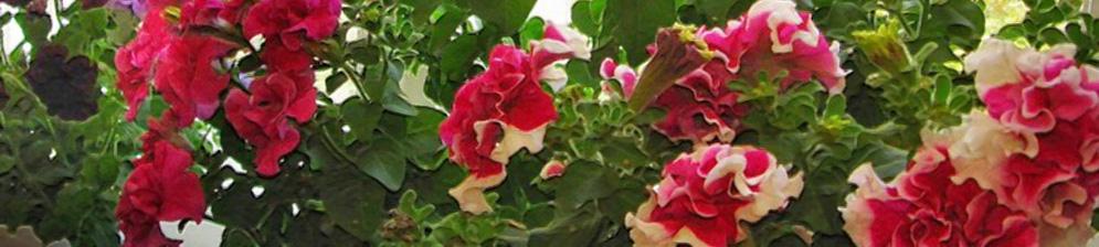 petunia-v-gorshke-na-balkone.jpg