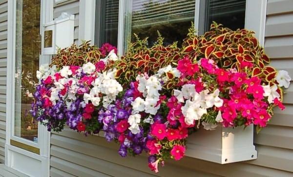 petuniya-na-balkone.jpg